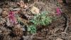 Corydalis solida 'George Baker'