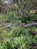 Woods hyacinths among massive weeds