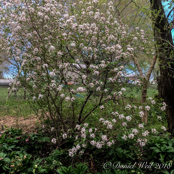 Viburnum, fragrant type