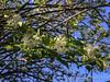 Staphylea prob colchica