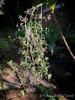 Xanthorhiza flowers