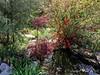 Japanese maple, orange flowering quince