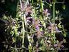 Closeup of tiny Xanthorhiza flowers