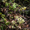 Oy, another epimedium