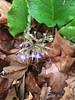 Trchystemon orientalis