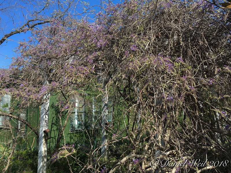 Wisteria- approaching glory in spite of neglect