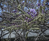 Chinese wisteria in bud