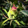 Tree peony bud- very late this year