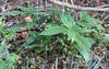 Scopiola japonica