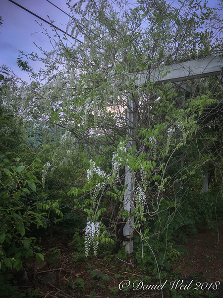White Japanese wisteria- first time blooming