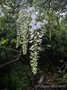 White Japanese wisteria