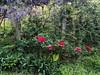 Chinese wisteria, tree peony 'Shimanishiki', varieg. rose 'Curiosity' 2018