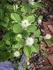 Fothergilla, prob dwarf (at least I hope so) 2018