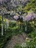 the wisteria arbor 2018