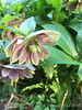 Faded double hellebore