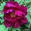 "Tree peony that we call 'Hechinger's Purple"".  Guess where we bought it."