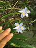 Iris japonica ex a plant exchange, prob Eco Easter- spreads like wildfire