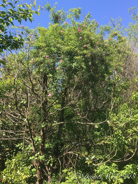 Unknown rose 20' up a half dead Southern magnolia
