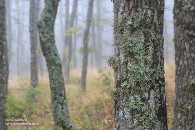 Oak trees covered in lichen in the Dolomiti lucane, Basilicata, Italy