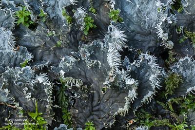 Lichen, Peltigera membranacea, Hardraw, Yorkshire Dales National Park, UK