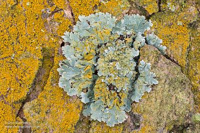 Gold Dust lichen Chrysothrix candelaris, growing around and over shield lichen, Parmelia sulcata, on sycamore bark.