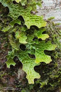 Lungwort lichen, Lobaria pulmonaria, Calabria, Italy