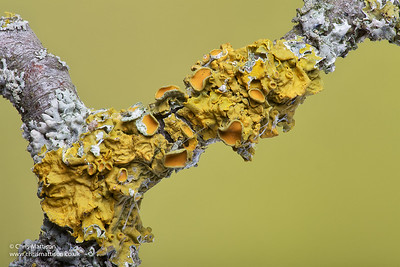 Common orange lichen, Xanthoria parietina, on hawthorn twig.  (Together with a shield lichen, Parmelia sulcata.)