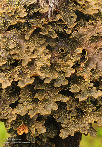 Foliose lichen, Anjozorobe, Madagascar