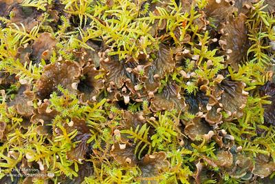 Dog lichen, Peltigera hymenina, and moss, Mull, Scotland