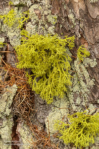 Wolf's moss, Letharia vulpina, a lichen, growing on Norway spruce, Italian Alps.  The species also occurs in North America