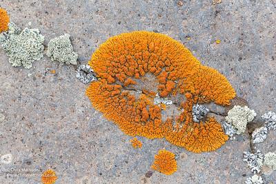 Orange foliose lichen, Xanthoria elegans (elegant sunburst lichen).  Baguales Valley, Chile