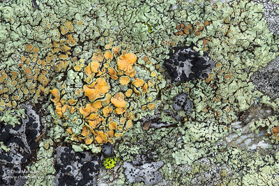 A crustose lichen, probably Lechanora muralis or similar, and several other lichens.  Valgrisenche, Italian Alps, Italy