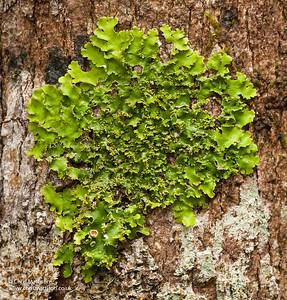 Green foliose lichen, Anjozorobe, Madagascar