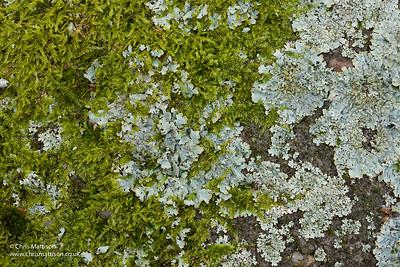 Shield lichen, Parmelia sulcata, and moss, Padley, Derbyshire