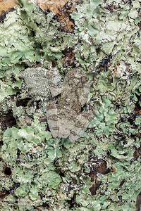 Marbled tree frog, Dendropsophus marmoratus, South America, camouflaged on an unidentified lichen.