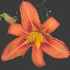2005 | Lilies