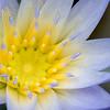 Nymphaea x daubenyana, Seerose, Water lily