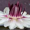 Amazonas Riesenseerose, Victoria amazonica, Seerose, Water lily
