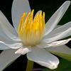 Nymphaea lotus, Ägyptische Lotusblume, Water lily