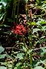 L. radiata v. pumila ex Arrowhead Alpines 8/9/18