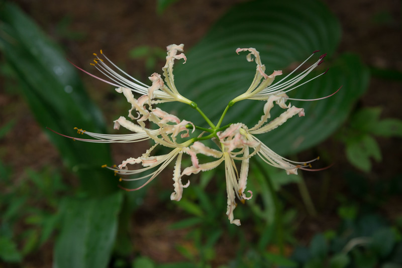 Second mystery Lycoris from Chen Yi