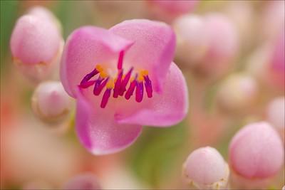 Blossom of Medinilla speciosa