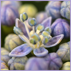 Bluishpurple Hortensia - Hydrangea detail