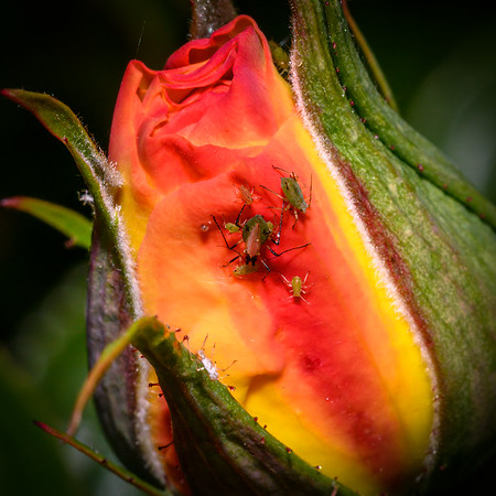 Aphid party in a Rosebud