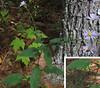 Wavy-leaved Aster (Symphytrichum undulatum)