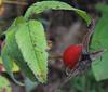 Pasture Rose (Rosa carolina) hip