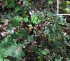 Panicled Aster (Symphytrichum lanceolatum)