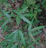 Panicled Tick Trefoil (Desmodium paniculatum)