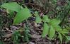 Smooth Solomon's Seal (Polygonatum biflorum) berries