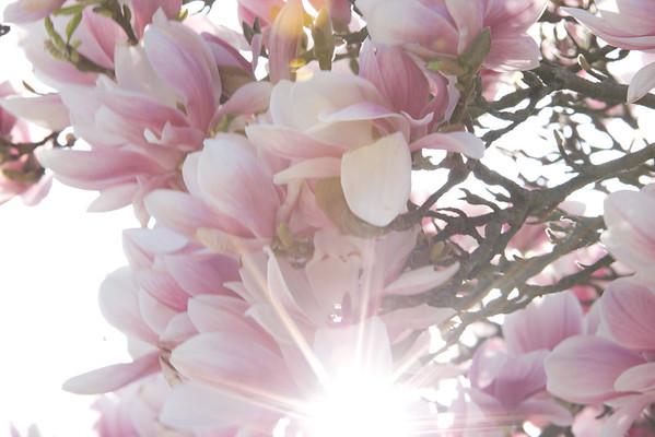 BT Magnolia Nr.